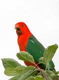 Konung Parrot som skriar i Drouin Victoria Australia Arkivbild