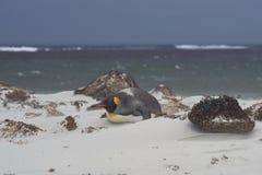 Konung Penguin på en Sandy Beach Arkivfoto