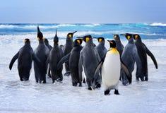Konung Penguins Arkivfoton