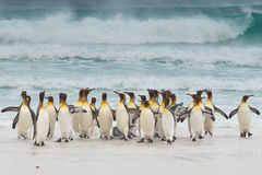Konung Penguins Coming Ashore Royaltyfri Foto