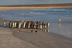 Konung Penguins Going till havet Arkivfoto