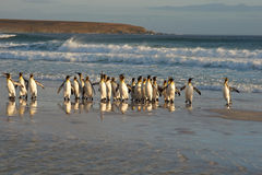 Konung Penguins i bränningen Arkivbilder