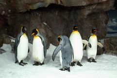Konung Penguins i fångenskap Arkivbild