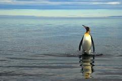 Konung Penguins i Sydamerika Royaltyfria Bilder