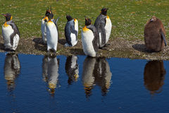 Konung Penguins Moulting - Falkland Islands Arkivfoto