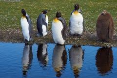Konung Penguins Moulting - Falkland Islands Fotografering för Bildbyråer