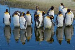 Konung Penguins Moulting - Falkland Islands Royaltyfri Bild