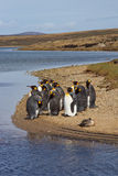 Konung Penguins Moulting - Falkland Islands Royaltyfri Fotografi