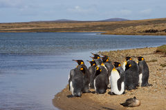 Konung Penguins Moulting - Falkland Islands Royaltyfri Bild