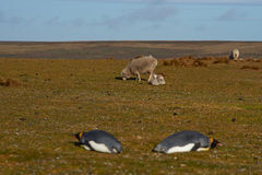Konung Penguins och får - Falkland Islands Royaltyfria Foton