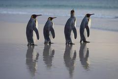 Konung Penguins på den Saunders ön Arkivfoto