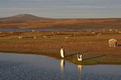 Konung Penguins på en fårlantgård - Falkland Islands Royaltyfria Foton