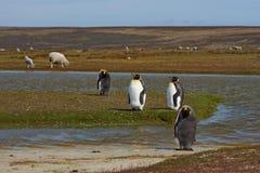 Konung Penguins på en fårlantgård - Falkland Islands Royaltyfri Fotografi
