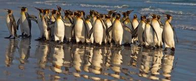 Konung Penguins på gryningen Arkivfoto