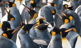 Konung Penguins på guld- hamn Arkivbild