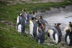 Konung Penguins på Salisbury slättar Royaltyfri Foto