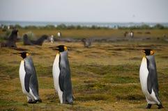 Konung Penguins på Salisbury slättar Royaltyfri Fotografi