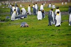 Konung Penguins på Salisbury slättar Royaltyfri Bild