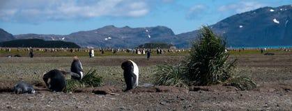 Konung Penguins på Salisbury slättar Arkivfoto