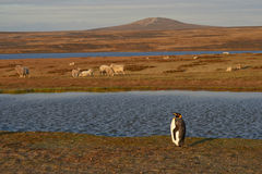 Konung Penguins på en fårlantgård - Falkland Islands Royaltyfri Foto
