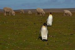 Konung Penguins på en fårlantgård - Falkland Islands Arkivbild