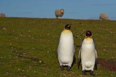 Konung Penguins på en fårlantgård - Falkland Islands Arkivbilder