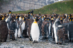 Konung Penguins på guld- hamn Arkivbilder