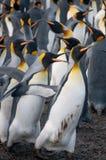 Konung Penguins på guld- hamn Royaltyfri Foto