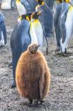 Konung Penguins p? guld- hamn arkivfoto