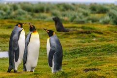 Konung Penguins p? Salisbury sl?ttar royaltyfria bilder