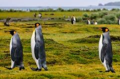 Konung Penguins p? Salisbury sl?ttar arkivfoto