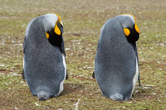 Konung Penguins Resting - Falkland Islands Royaltyfri Bild