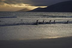 Konung Penguins som ashore kommer på den Saunders ön Royaltyfria Bilder