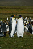 Konung Penguins, volontärpunkt, Falkland Islands Royaltyfri Foto