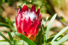 Konung Protea i söder - afrikan Arkivbilder