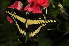 Konung Swallowtail Royaltyfri Fotografi