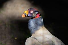 Konung Vulture Arkivfoton