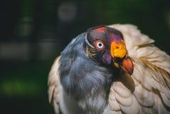 Konung Vulture Royaltyfri Foto