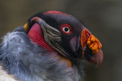Konung Vulture Royaltyfri Fotografi