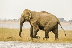 Konungelefanten, stor fot Royaltyfri Fotografi