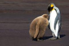 Konungen Penguin (Aptenodytespatagonicus) som matar det, är fågelungen Arkivfoton