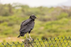 konunggam på staketet, suddig bakgrund Royaltyfri Foto