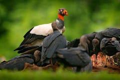 Konunggam, Sarcoramphus far, med kadavret och svarta gam Röd head fågel, skog i bakgrunden Djurlivplats från trop Arkivfoto