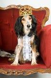 Konunghund Fotografering för Bildbyråer