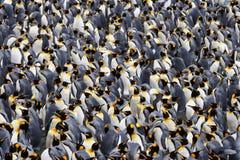 konungpingvin arkivfoto