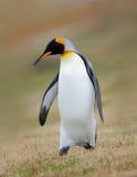 Konungpingvin, Aptenodytespatagonicus, i gräset, Falkland Islands Arkivbilder