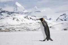 Konungpingvin i ny snö på södra Georgia Island Arkivbilder