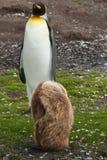 konungpingvin och fågelunge Arkivbild