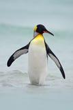 Konungpingvin som går från blått vatten, Atlantic Ocean i Falkland Island, havsfågel i naturlivsmiljön Pingvin i vattnet Pengu Royaltyfria Foton