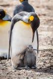 Konungpingvin som ner böjer till den gråa fågelungen Arkivbilder